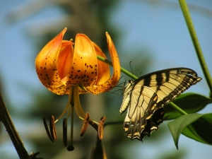 Swallowtail on a Turk's Cap Lilly.