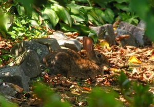 Mommy bunny resting in the leaves.