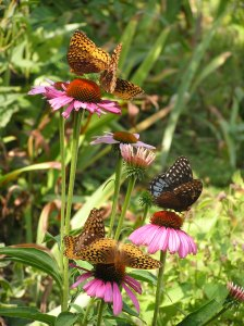 Butterflies on Coneflowers.