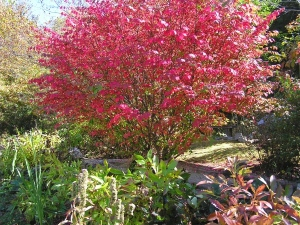 The beautiful Burning Bush in our front yard.