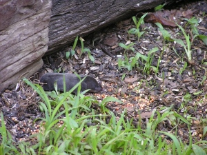 Mrs. Shrew coming out to gather her food.