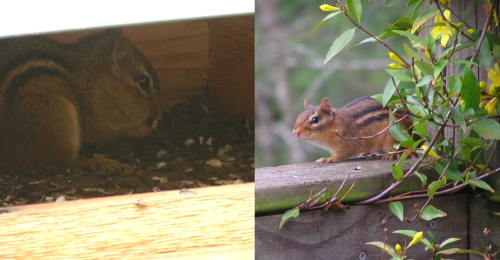 Chippy enjoying her sunflower seeds in the barn, and her friend sitting by the Carolina Jasmin.