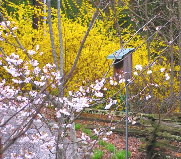 Our beautiful Forsythia and Cherry blooms, in the front yard.