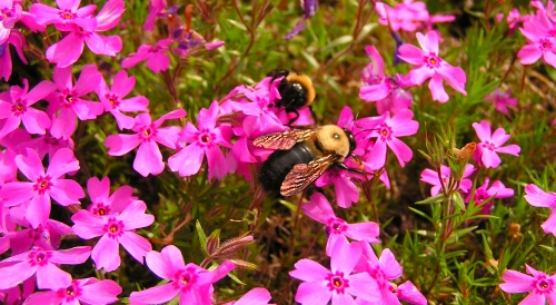 Two bees greatly enjoying the lush Phlox.