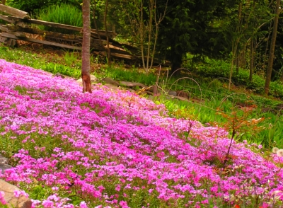 The pink Phlox in all of its' glory.