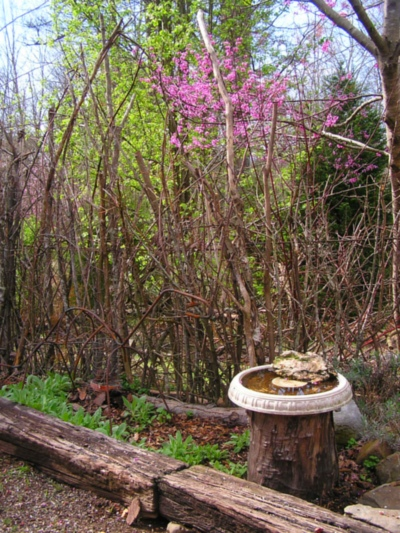 The Redbud blooming in the secret garden.
