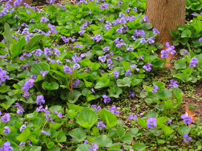 A grouping of wild Violets.