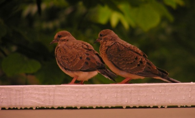 The baby Doves cakes are waiting out the rain, on our front porch.