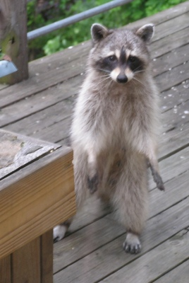 Bandit pays us another visit on the back porch.