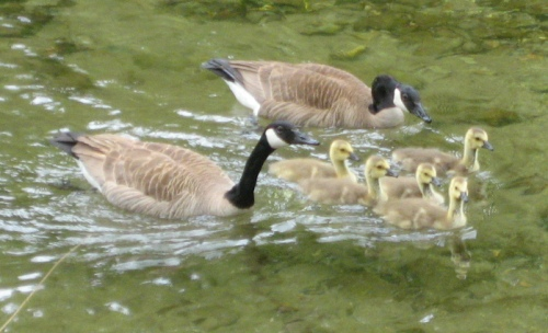 One of the beautiful Canadian Geese families swiming in the Little River.