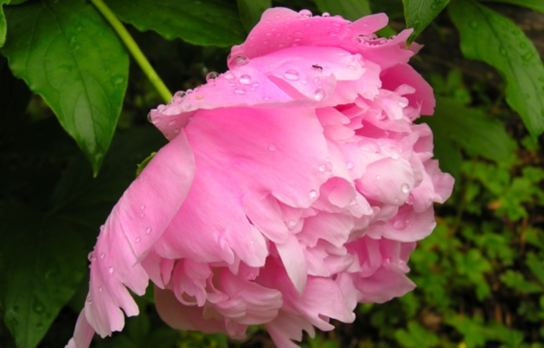 One of my personal favorits, a pink Peonie.