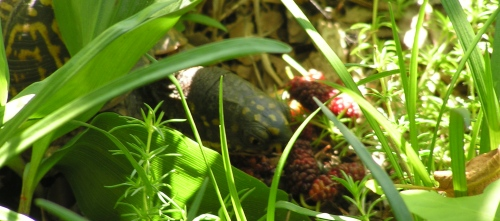 Boxy the Box Turtle, chowing down on fresh Mulberries.