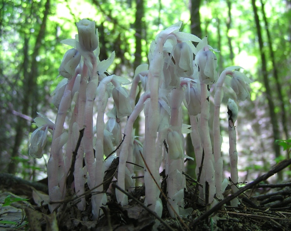 A gorgeous stand of Indian Pipe.