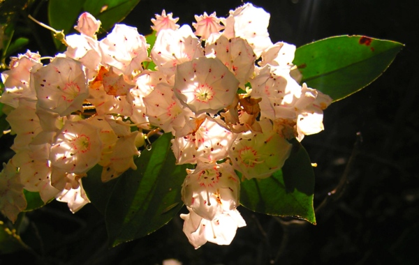 The beautiful blooms of the Mountain Laurel.