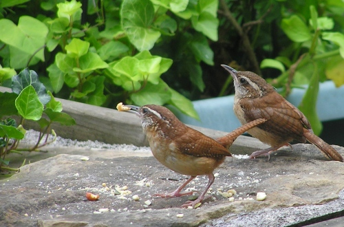 The Carolina Wrens with their much enjoyed peanut crunchies.