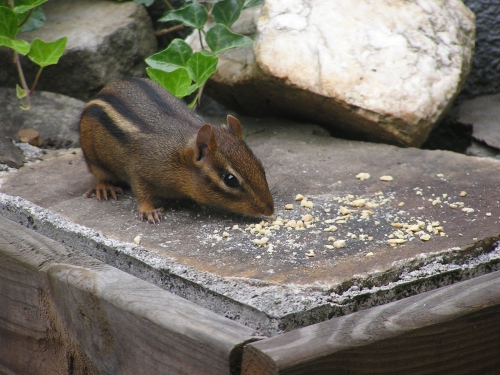 Sweet Chippy eating the peanut crunchies on the top deck.