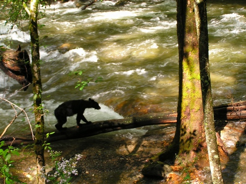 A young Black Bear on little river trail in the Great Smokies.