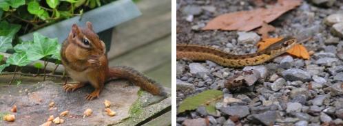 Chippy being a peanut, piggy face and a beautiful Garter Snake.
