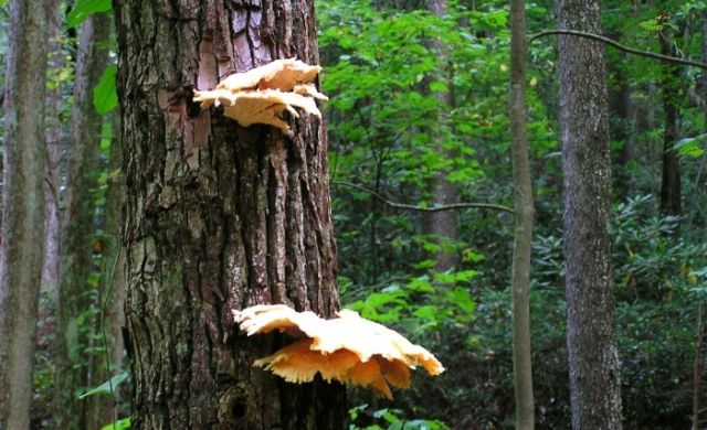 Sulphur Shelf; Chicken Mushroom (Laetiporus sulphureus)