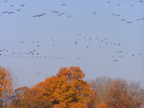 A few of the beautiful Canada Geese in Easton.