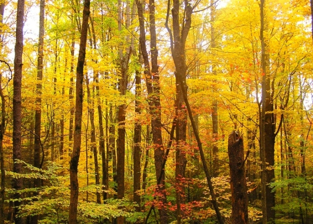Golden foilage lining the winding drive into Cades Cove.