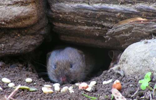 Ms. Vole coming out to eat her treats.