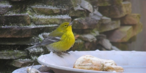 Our beautiful, but lost Pine Warbler that is spending the winter with us.