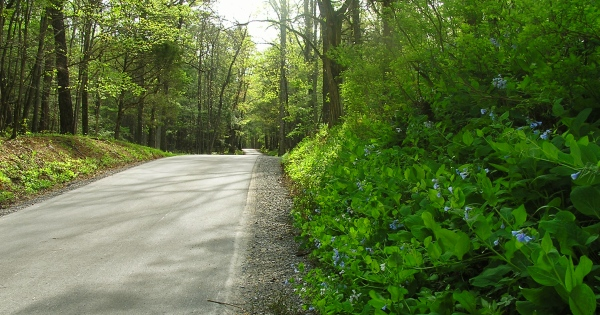 Blue Bells blooming alongside the new road in Cades Cove.