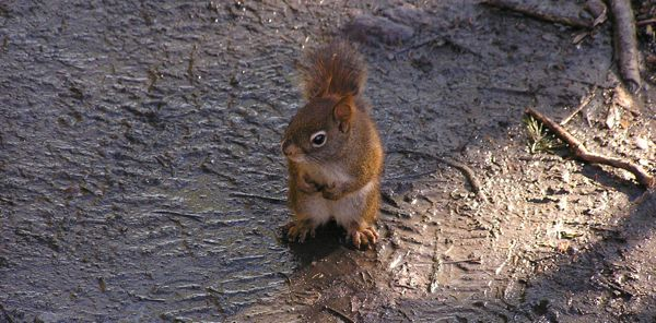 A precious little Red Squirrel
