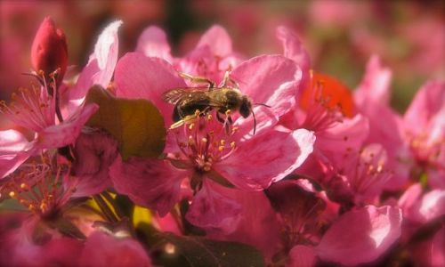 photo of bee on crabapple flower
