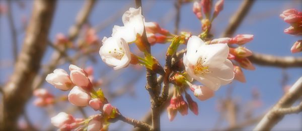 yoshino cherry bloom photo
