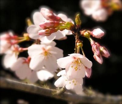 photo of a yoshino cherry blossom