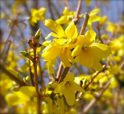photo of forsythia flowers
