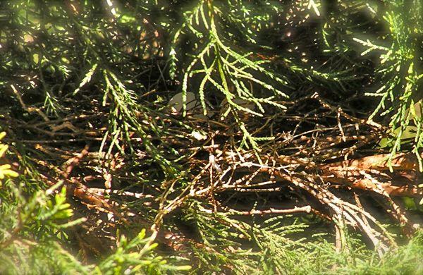 photo of doves nest