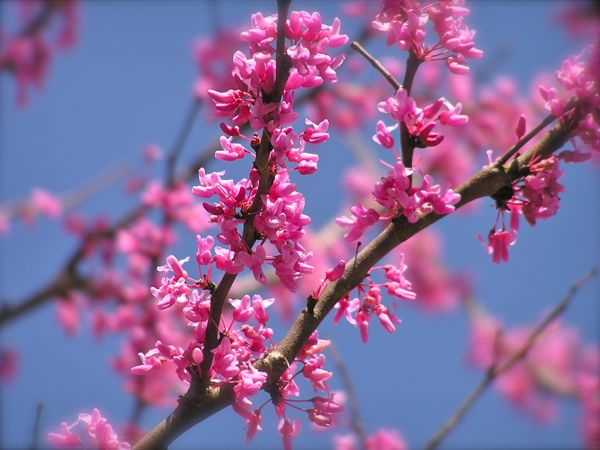 photo of redbud blooms