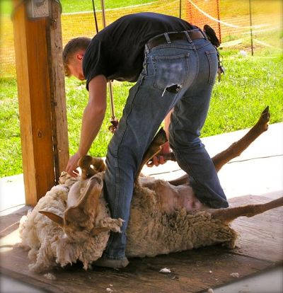 photo of shearing a sheep
