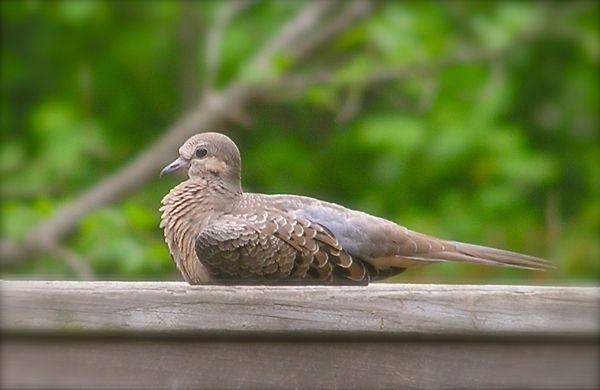 photo of baby dove