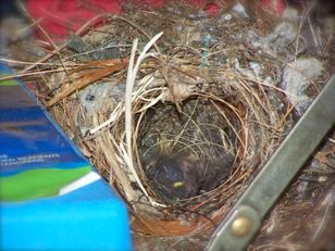 photo of carolina wren bird nest