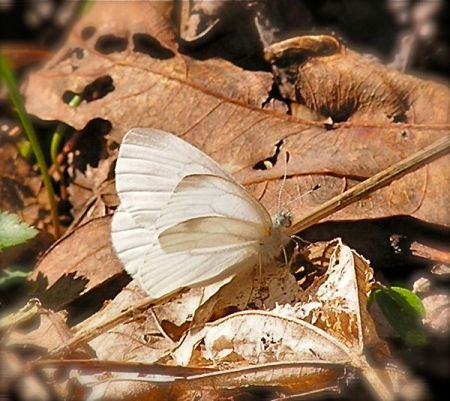 photo of cabbage white butterfly