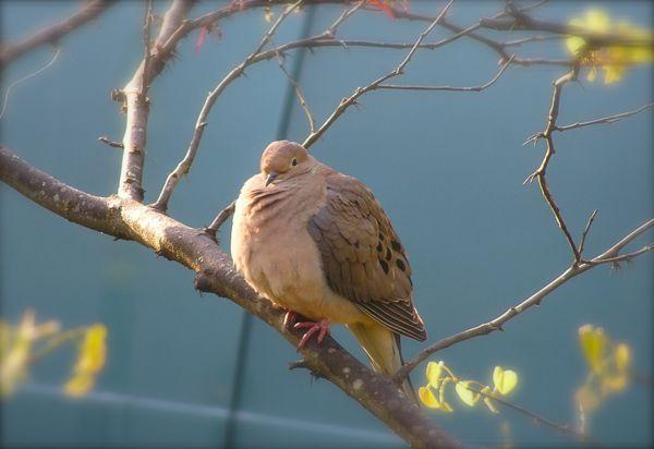photo of dove