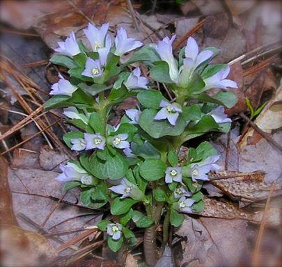 smokies wildflower photo