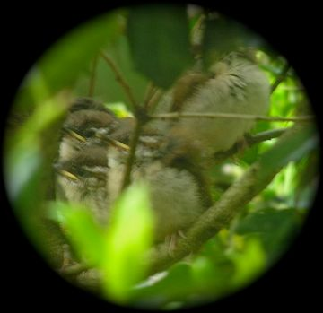 baby carolina wren photo