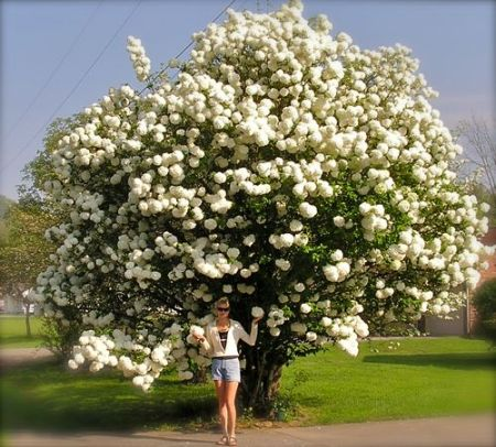 photo of snowball bush