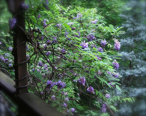 photo of blooming wisteria