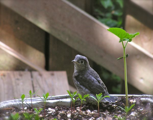 photo of baby bluebird