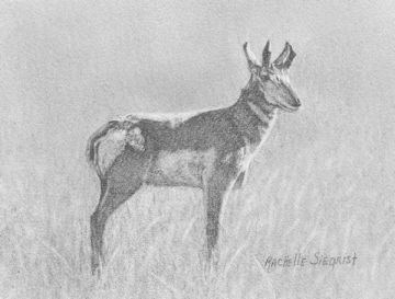 Drawing of a Prong Horned Buck