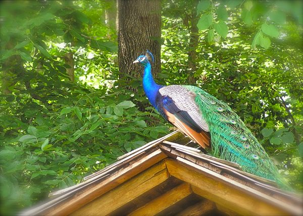 photo of male peacock