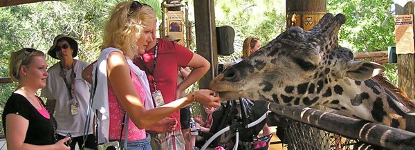photo of feeding a giraffe