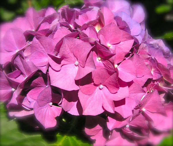 photo of pink hydrangea