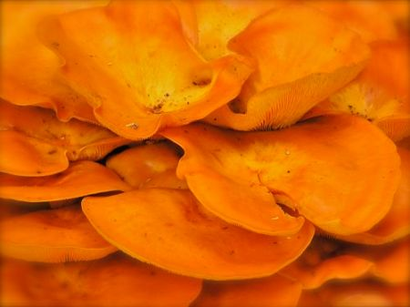 photo of orange shelf mushroom